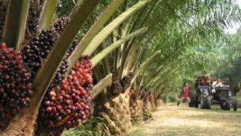 Agronomic Practices of Oil Palm